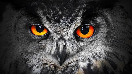 Fototapete - The evil eyes blinking. Eagle Owl (Bubo bubo) watching from the darkness.