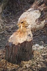 Biberfraß, ein gefällter Baum