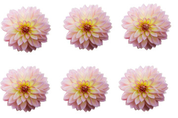 Group of Dahlia flower heads isolated