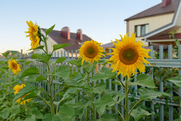 sunflowers near the fence in the evening
