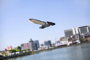 飛んでいる鳩