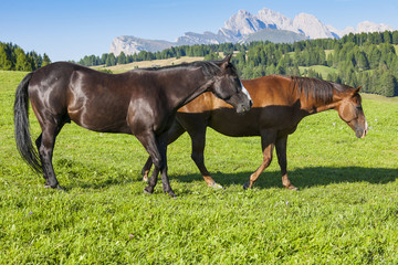 Horses in the mountain pasture