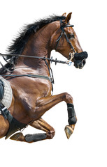 Fototapete - Close-up of chestnut jumping horse in a hackamore. Isolated on w