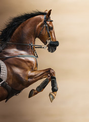 Fototapete - Close-up of chestnut jumping horse in a hackamore