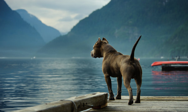 American Pit Bull Terrier standing on the dock and looking out at the mountains and lake