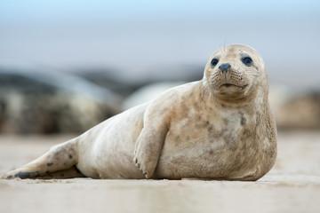 Atlantic Grey Seal Pup (Halichoerus Grypus)/Atlantic Grey Seal Pup on sandy beach
