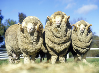 stud merino rams on Australian farm.