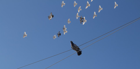 Gray dove sitting on a rope in the background flying pigeons