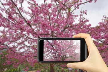 take photo by smart phone concept. Himalayan Cherry (Prunus cera