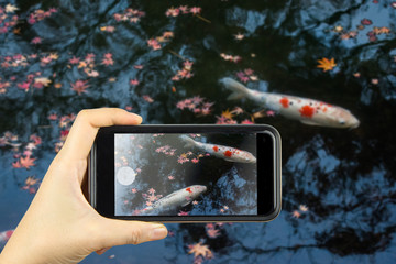 take photo by smart phone concept. Koi in pond