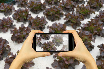 take photo by smart phone concept. hydroponic farm at Doi Angkha