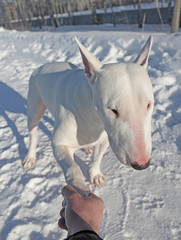Shaking hands with white Bull Terrier