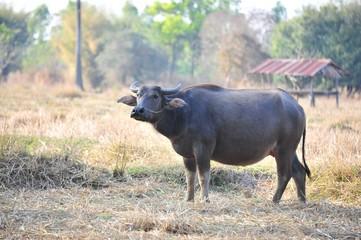 buffalo eating grass in field.