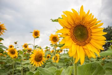 Piękne żółte słoneczniki w naturalnym krajobrazie