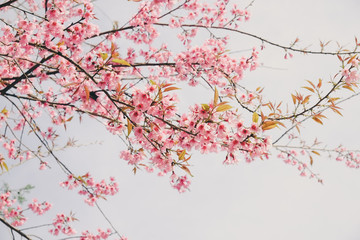 Wild himalayan cherry flower with filter effect retro vintage st