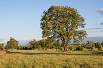 Samotne okazałe drzewo rosnące na łące