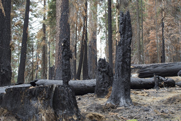Burned Trees In Sequoia National Forest