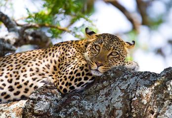 Leopard is lying on a tree. National Park. Kenya. Tanzania. Maasai Mara. Serengeti. An excellent illustration. Wall mural