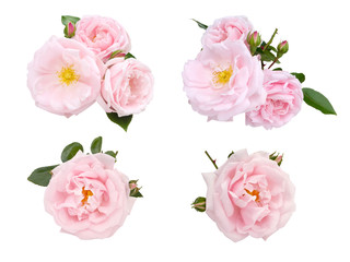 Pale pink roses and buds set