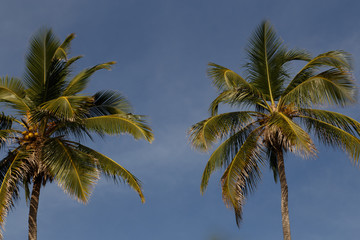 coconut palms with sky at background