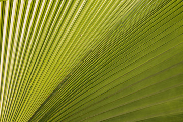 Wall Mural - Closeup of the texture and pattern of the palm leaf 2