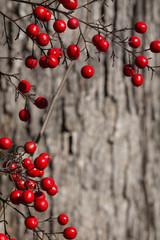 Macro red winter Nandina berries (Heavenly Bamboo) in front of tree bark
