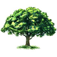 Green tree oak isolated on white background