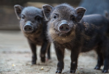 Small pigs in the farm. Funny black piglet on a farm looking at the camera with curiosity