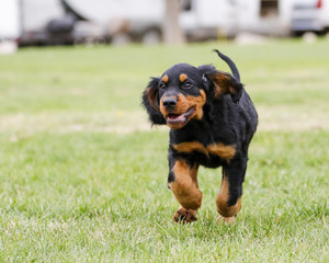 Gordon Setter puppy running and playing