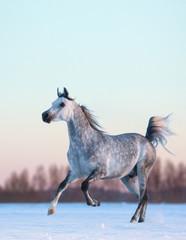 Fototapete - Gray Arabian stallion on winter snowfield at sunset