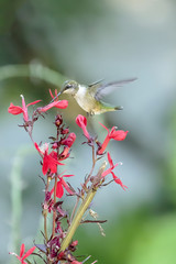 Hummingbird & Red Flower