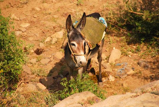 Esel im Harazgebirge