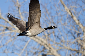 Canada Goose Flying Past the Winter Trees