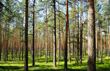 Kiefernwald im Hochmoor Viru Raba / Estland