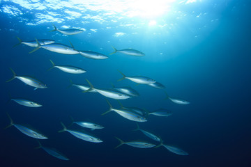 Sardines mackerel herring tuna fish underwater background ocean