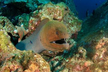Giant Moray Eel underwater coral reef