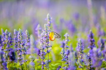 Butterfly on Lavender Flowers field in the garden.