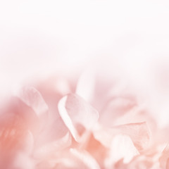 Sweet color pastel hydrangeas in soft color and blur style for b