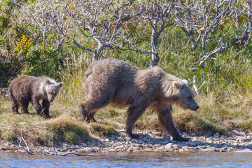 Brown bear standing at a river at Katmai Alaska and her spring cub