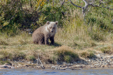Brown bear cub at a river at Katmai Alaska