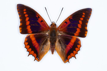 Common Red Charaxes butterfly charaxes lucretius