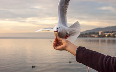hand with food for the gulls Wall mural