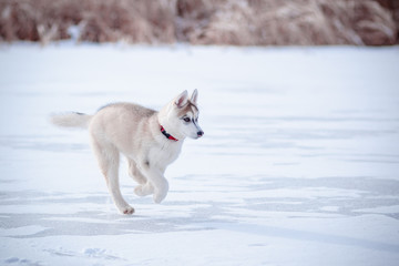 puppy runs through the snow