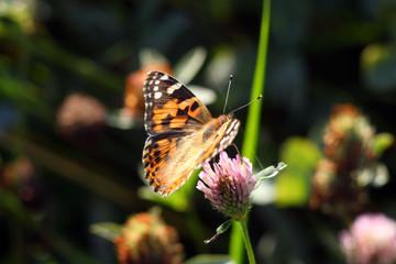 Бабочка Ванесса Карди (Vanessa Cardui) из семейства нимфалид