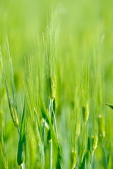 closeup of green cereal field