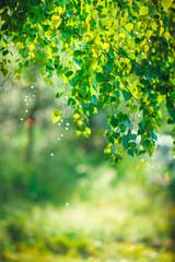 зеленый,береза,лист,природа , весна, вода, лето , растения, дерево, листва лес , капли, цвет, абстрактные , роса , дождь, окружающей среды,картины