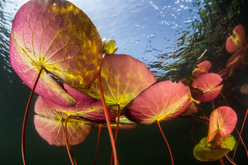 Wall Mural - Colorful Lily Pads Underwater