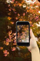 Taking photo on smart phone. Wild Himalayan Cherry (Prunus ceras