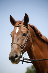 Close up of a young thoroughbred chestnut stallion against blue sky background summer time