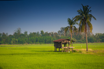 small house in green rice field with coconut tree and blue sky background